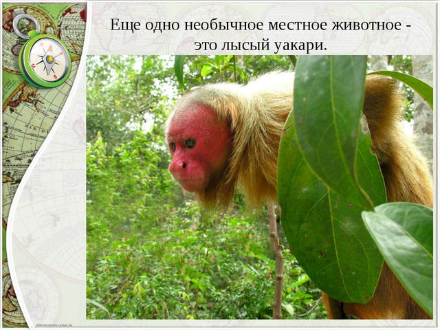 Еще одно необычное местное животное - это лысый уакари.