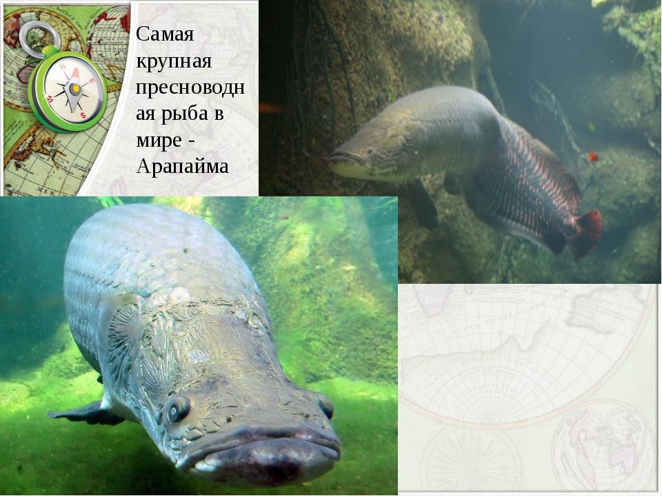 Самая крупная пресноводная рыба в мире - Арапайма