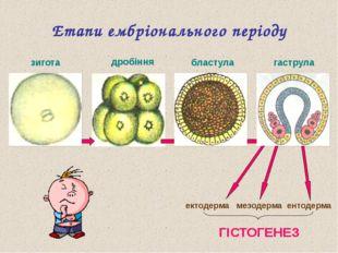 ? ? ? ? Етапи ембріонального періоду зигота ектодерма мезодерма ентодерма ГІС