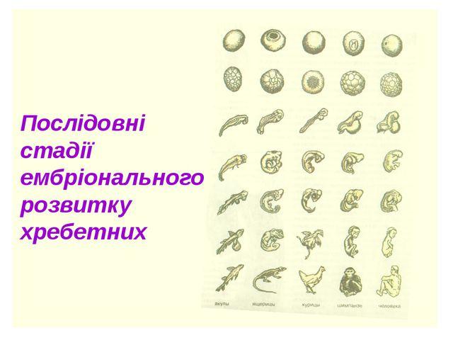 Послідовні стадії ембріонального розвитку хребетних