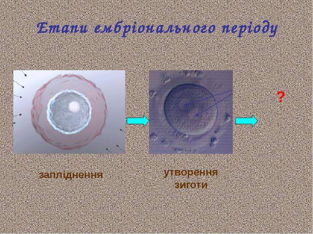 Етапи ембріонального періоду запліднення утворення зиготи ?