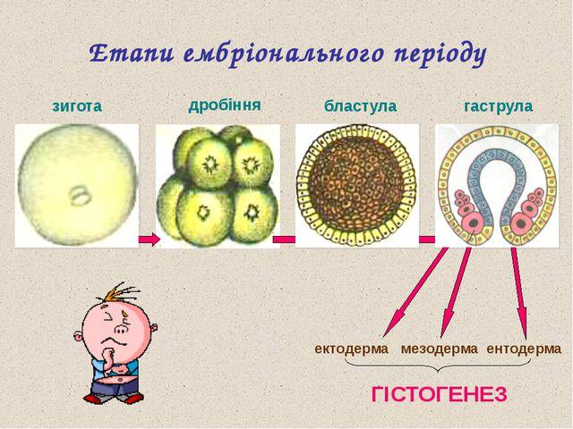 ? ? ? ? Етапи ембріонального періоду зигота ектодерма мезодерма ентодерма ГІС...