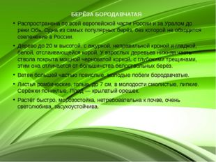 БЕРЁЗА БОРОДАВЧАТАЯ  Распространена по всей европейской части России и за Ур