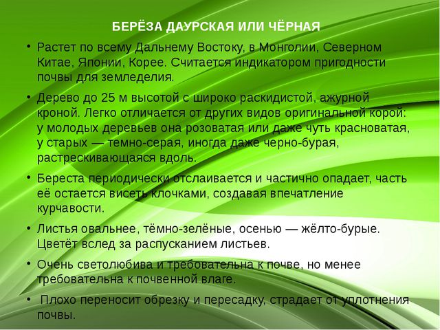 БЕРЁЗА ДАУРСКАЯ ИЛИ ЧЁРНАЯ  Растет по всему Дальнему Востоку, в Монголии, Се...