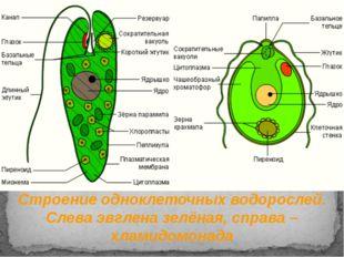 Строение одноклеточных водорослей. Слева эвглена зелёная, справа – хламидомон
