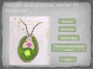 Что это за водоросль, каково её строение? Жгутик Оболочка Хроматофор Светочув