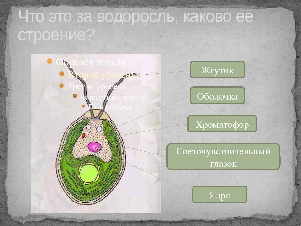 Что это за водоросль, каково её строение? Жгутик Оболочка Хроматофор Светочув...