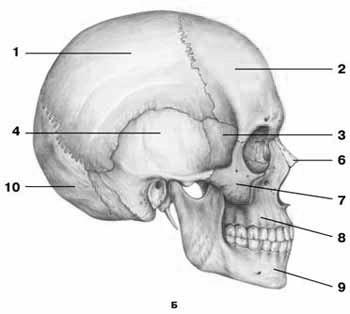 C:\Users\ьло\Pictures\Анатомия\череп\s73ч.jpg