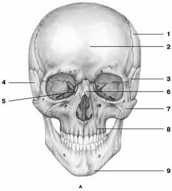 C:\Users\ьло\Pictures\Анатомия\череп\s72ч.jpg