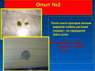 Опыт №2 После опыта протерли ватным шариком стебель растения (герани) – он см