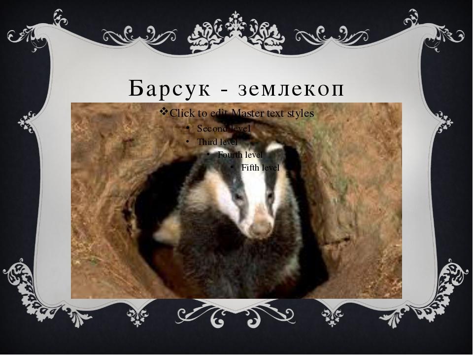 Барсук - землекоп