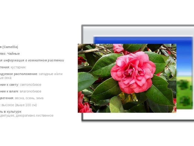Камелия (Camellia) Семейство: Чайные Краткая информация о комнатном растени...