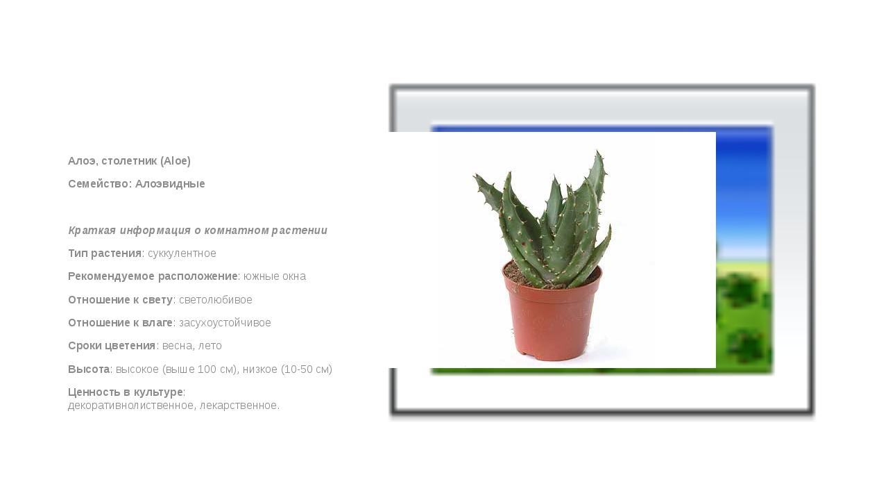 Алоэ, столетник (Aloe) Семейство: Алоэвидные  Краткая информация о комнатно...