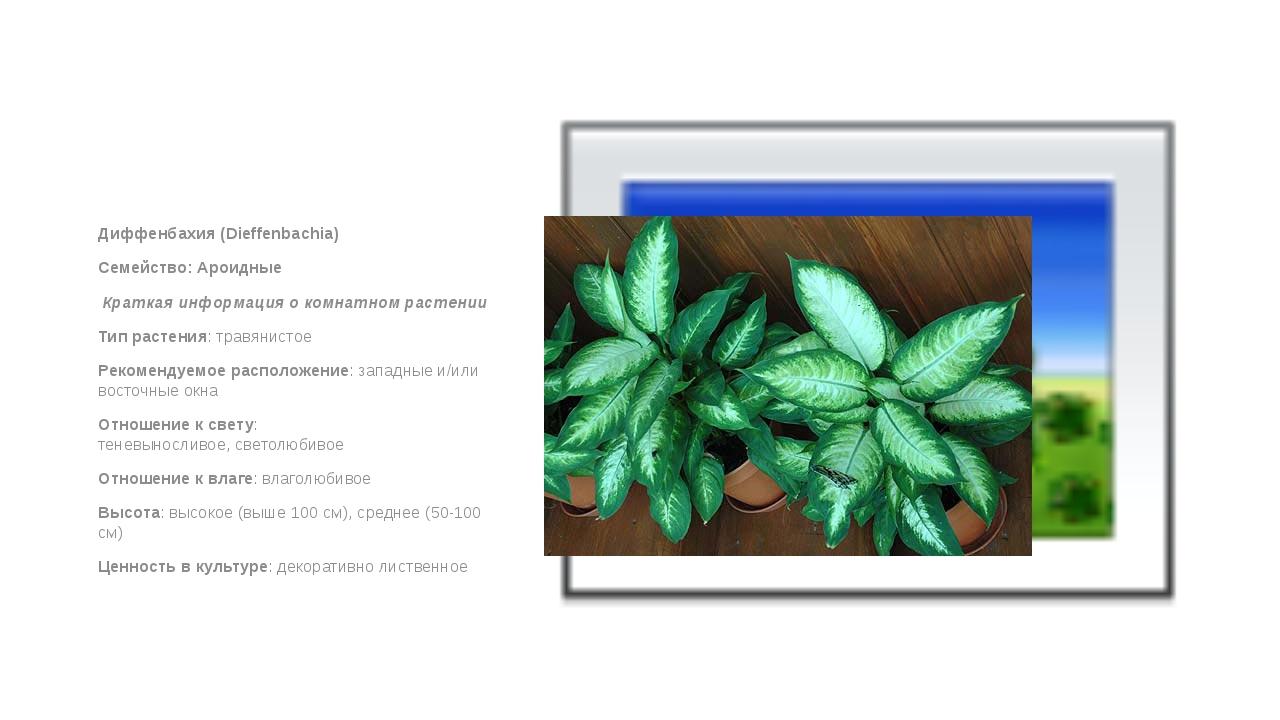 Диффенбахия (Dieffenbachia) Семейство: Ароидные Краткая информация о комнат...