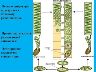 Осенью спирогира приступает к половому размножению. Протопласты клеток разны