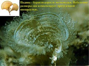 Падина - бурая водоросль мелководья. Небольшие размеры она компенсирует причу