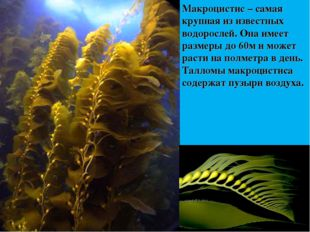 Макроцистис – самая крупная из известных водорослей. Она имеет размеры до 60м