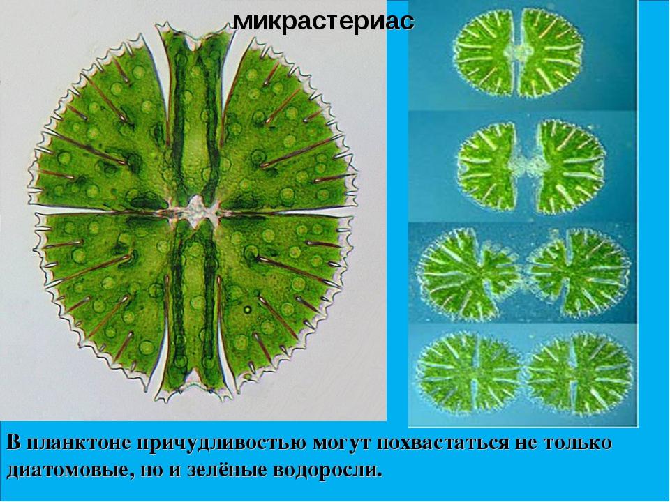 В планктоне причудливостью могут похвастаться не только диатомовые, но и зелё...