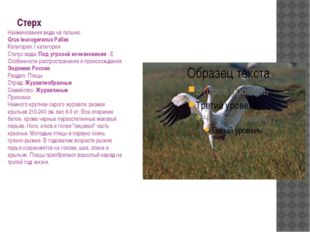 Стерх Наименования вида на латыни: Grus leucogeranus Pallas Категория: I кате