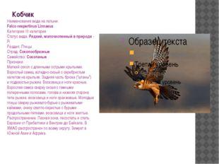 Кобчик Наименования вида на латыни: Falco vespertinus Linnaeus Категория: III