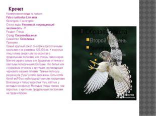Кречет Наименования вида на латыни: Falco rusticolus Linnaeus Категория: II к