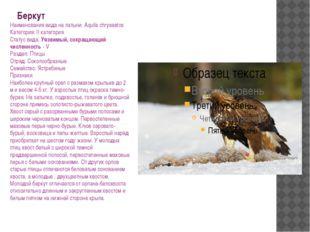 Беркут Наименования вида на латыни: Aquila chrysaetos Категория: II категория
