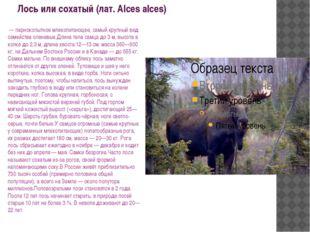 Лось или сохатый (лат. Alces alces) — парнокопытное млекопитающее, самый кру