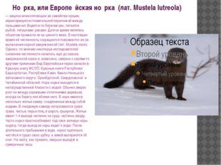 Но́рка, или Европе́йская но́рка (лат. Mustela lutreola) — хищное млекопитаю