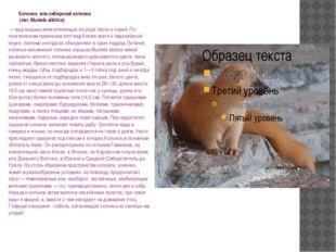 Колонок или сибирский колонок (лат. Mustela sibirica) — вид хищных млекопит