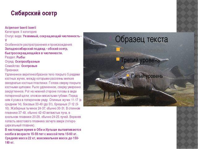 Сибирский осетр Acipenser baerii baerii Категория: II категория Статус вида:...