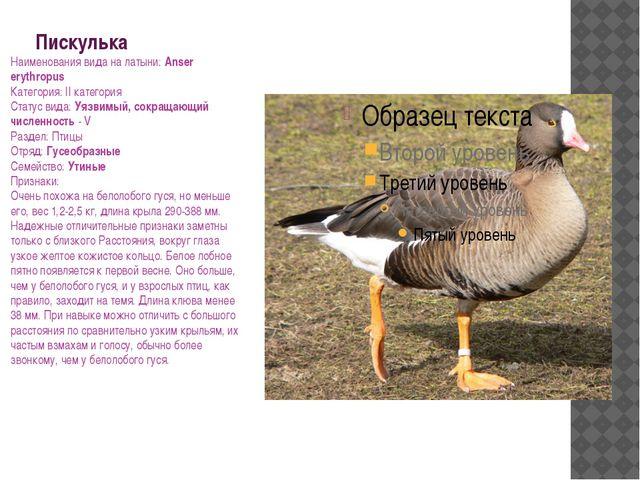 Пискулька Наименования вида на латыни: Anser erythropus Категория: II категор...