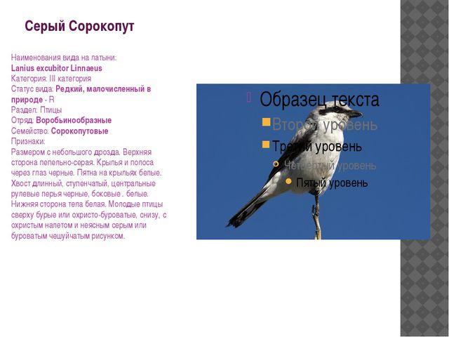 Серый Сорокопут Наименования вида на латыни: Lanius excubitor Linnaeus Катего...