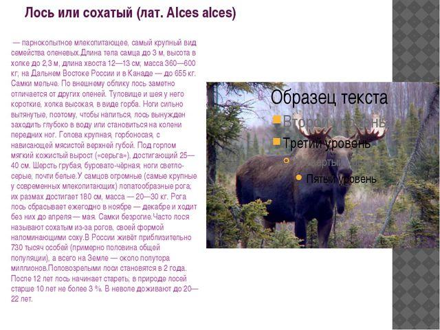 Лось или сохатый (лат. Alces alces) — парнокопытное млекопитающее, самый кру...