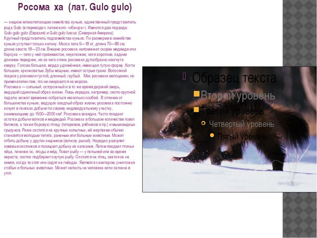 Росома́ха (лат. Gulo gulo) — хищное млекопитающее семейства куньих, единств...