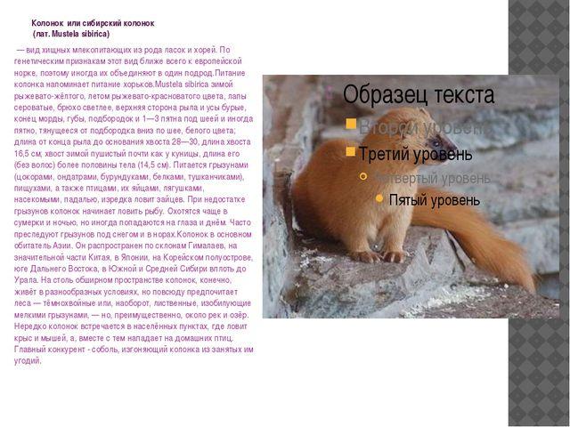 Колонок или сибирский колонок (лат. Mustela sibirica) — вид хищных млекопит...
