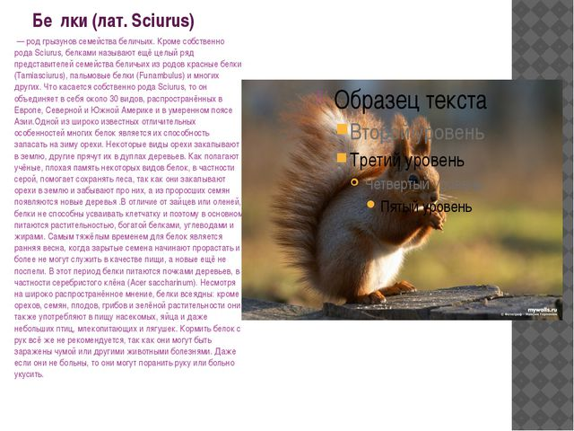 Бе́лки (лат. Sciurus) — род грызунов семейства беличьих. Кроме собственно ро...