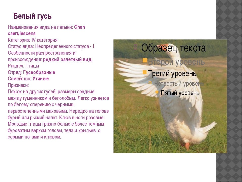 Белый гусь Наименования вида на латыни: Chen caerulescens Категория: IV катег...