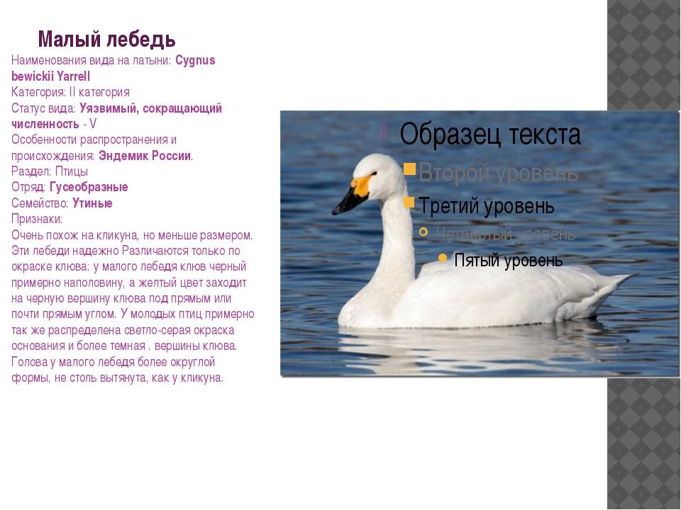 Малый лебедь Наименования вида на латыни: Cygnus bewickii Yarrell Категория:...