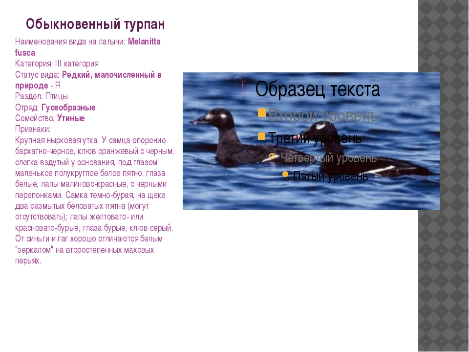 Обыкновенный турпан Наименования вида на латыни: Melanitta fusca Категория: I...