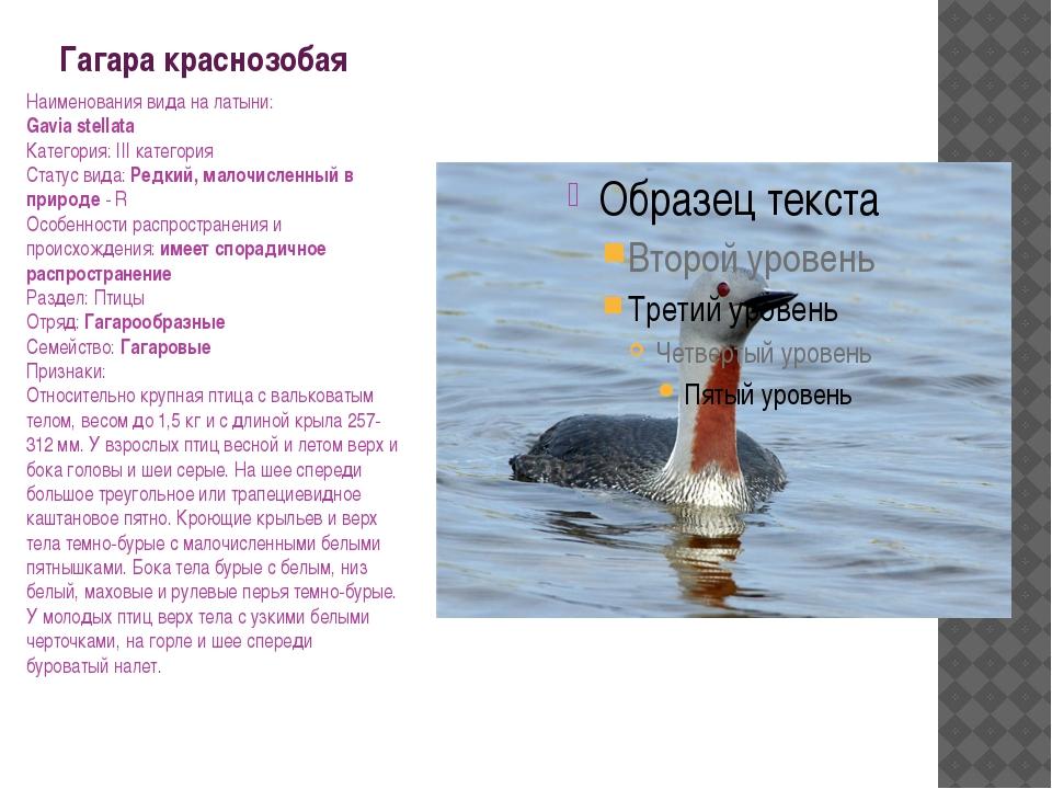Гагара краснозобая Наименования вида на латыни: Gavia stellata Категория: III...