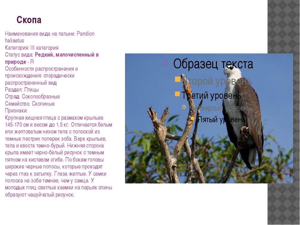 Скопа Наименования вида на латыни: Pandion haliaetus Категория: III категория...