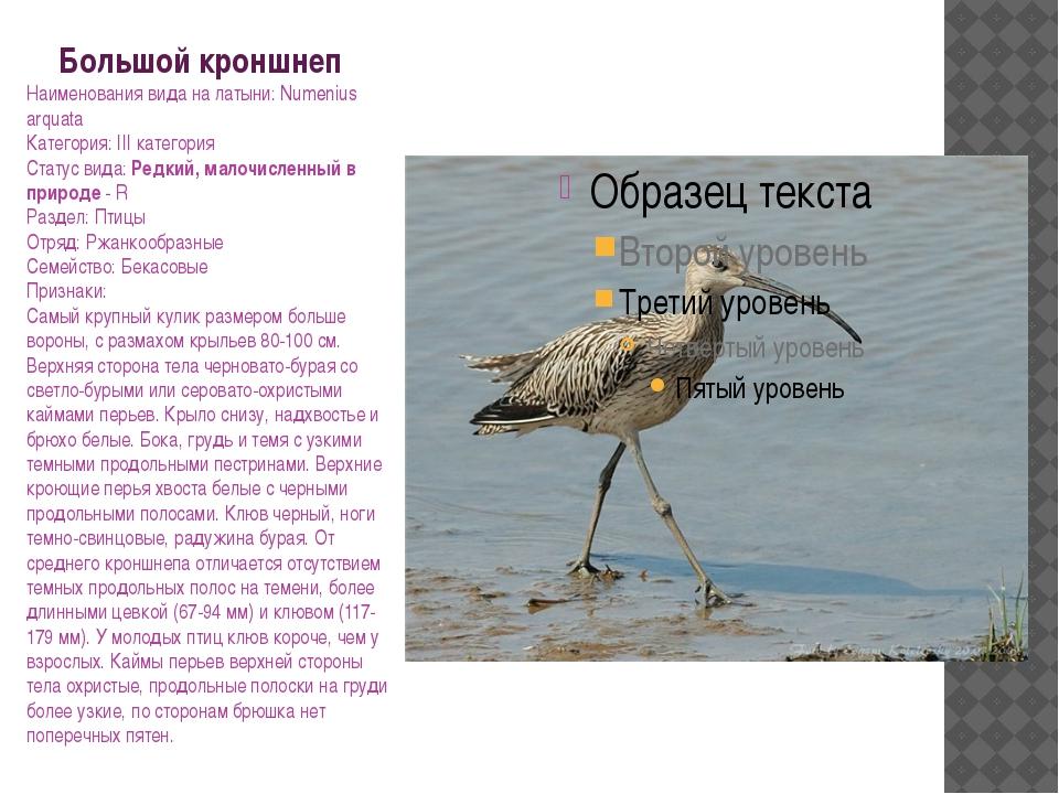 Большой кроншнеп Наименования вида на латыни: Numenius arquata Категория: III...