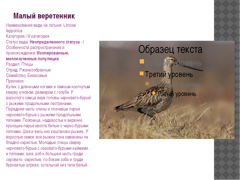 Малый веретенник Наименования вида на латыни: Limosa lapponica Категория: IV...