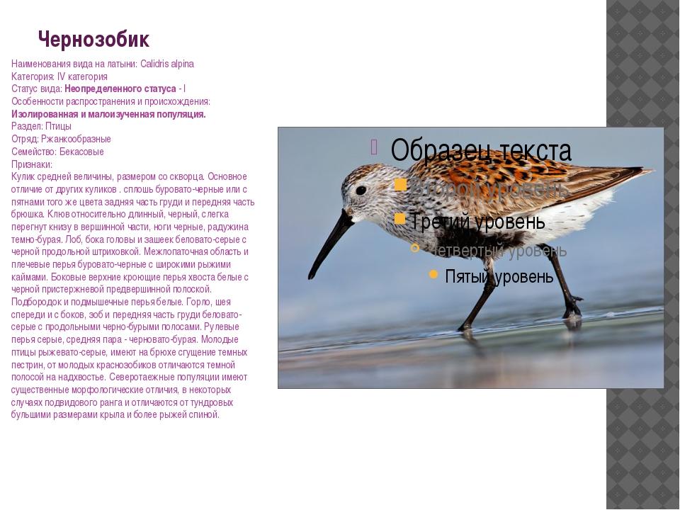 Чернозобик Наименования вида на латыни: Calidris alpina Категория: IV категор...