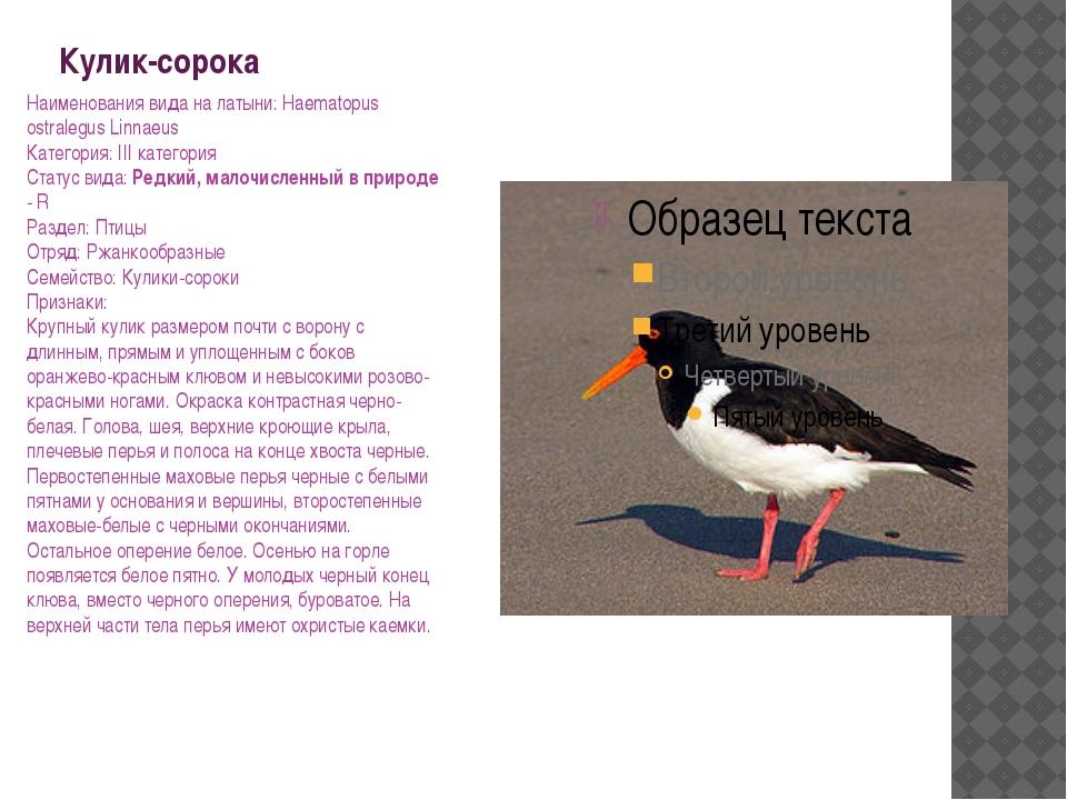 Кулик-сорока Наименования вида на латыни: Haematopus ostralegus Linnaeus Кате...