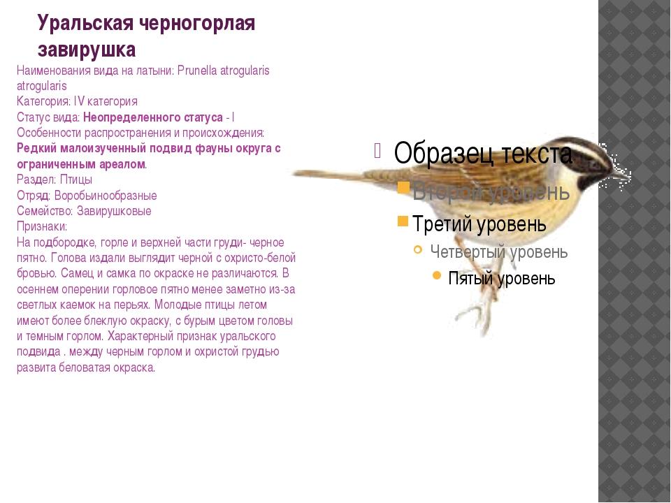 Уральская черногорлая завирушка Наименования вида на латыни: Prunella atrogul...