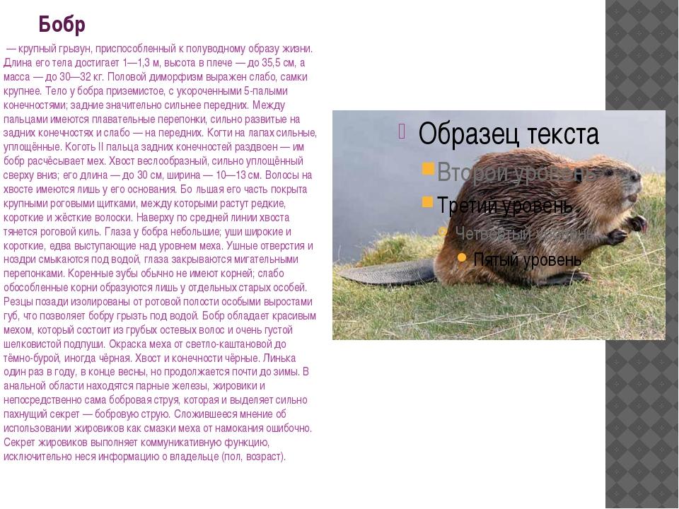 Бобр — крупный грызун, приспособленный к полуводному образу жизни. Длина его...