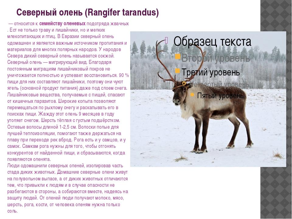 Северный олень (Rangifer tarandus) — относится к семейству оленевых подотряд...