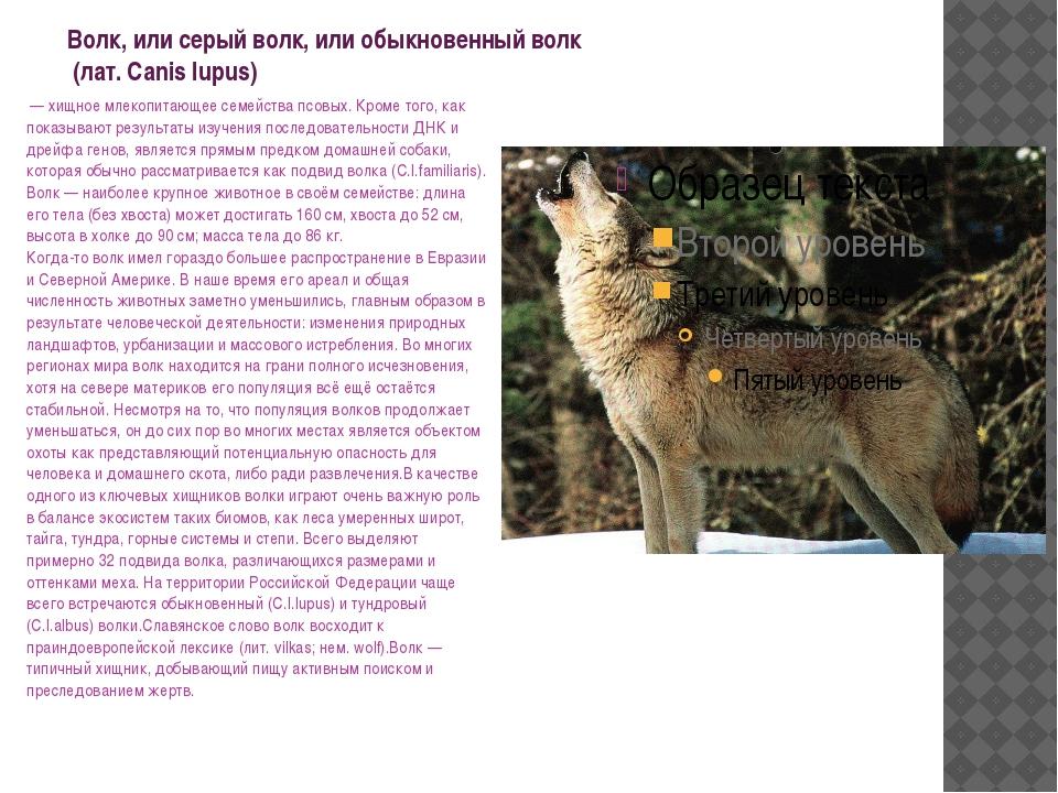 Волк, или серый волк, или обыкновенный волк (лат. Canis lupus) — хищное мле...