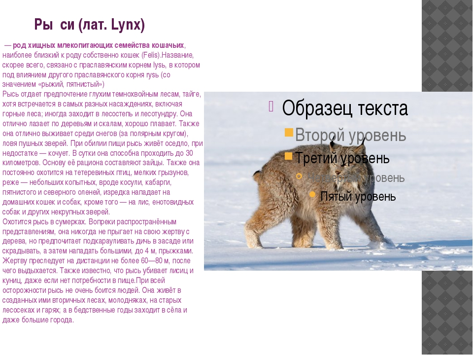 Ры́си (лат. Lynx) — род хищных млекопитающих семейства кошачьих, наиболее бл...